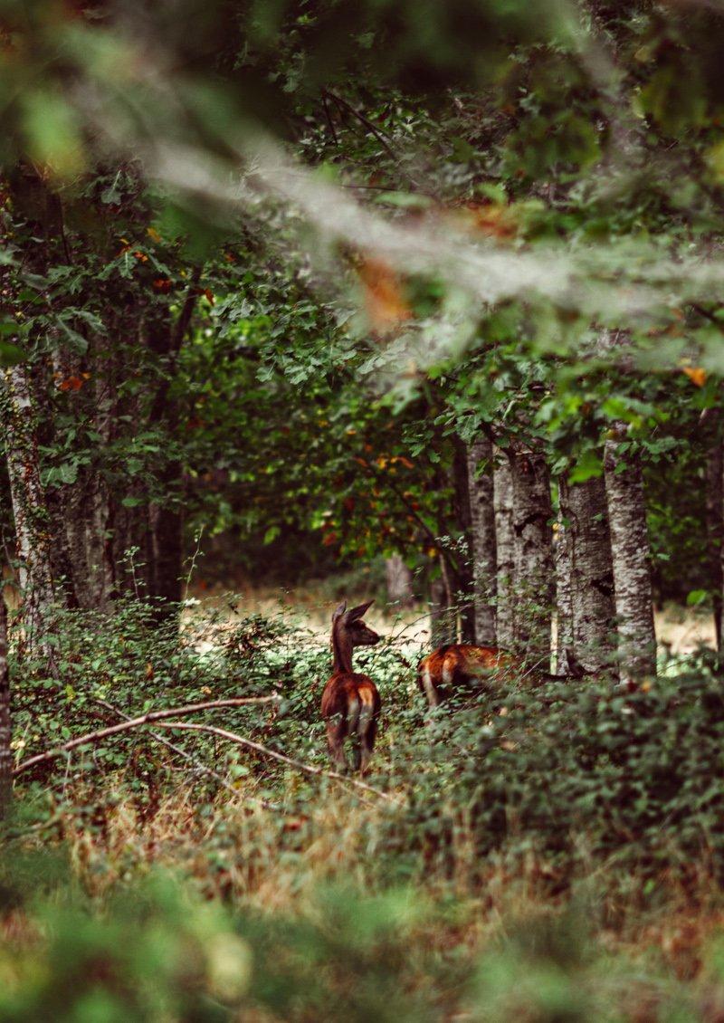 Biches et cerfs en forêt